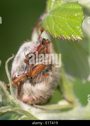 A Cockchafer beetle (Melolontha melolontha) hides in brambles on Collard Hill
