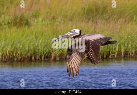 The  brown pelican (Pelecanus occidentalis) flying - Stock Photo