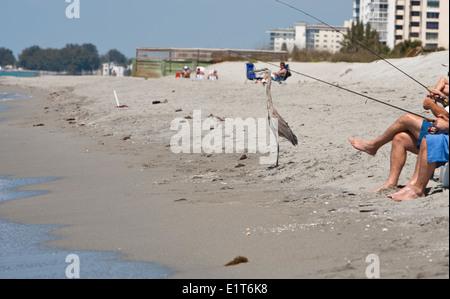 North America, USA, Florida, Venice, Great Blue Heron standing on beach beside fishermen - Stock Photo