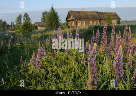 large-leaved lupine with russian farmer house on background - Stock Photo