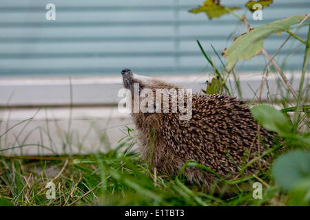 European Hedgehog in a garden - Stock Photo