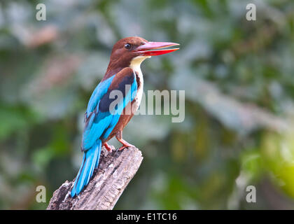Portrait of White-throated (White-breasted) Kingfisher - Stock Photo