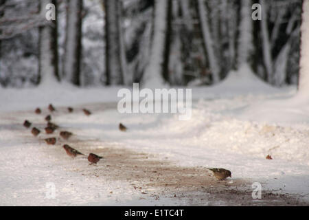Chaffinches foraging at a forest lane, snow. - Stock Photo