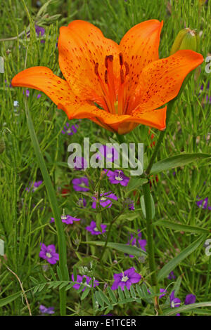 Orange Lily in field with Large Venus's-looking-glass - Stock Photo