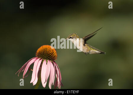A Ruby-throated Hummingbird hanging above a flower. - Stock Photo