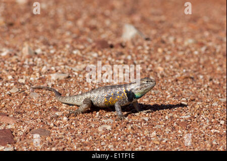 The Desert Spiny Lizard, Sceloporus magister, Paria Canyon-Vermilion Cliffs Wilderness Area, Utah, United States - Stock Photo