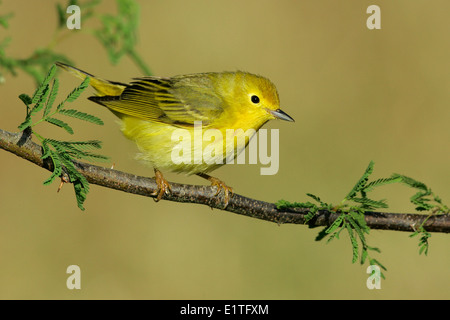 American Yellow Warbler - Setophaga petechia - Adult female - Stock Photo