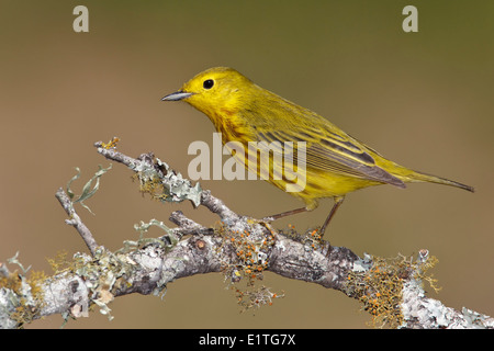 American Yellow Warbler - Setophaga petechia - Adult male - Stock Photo