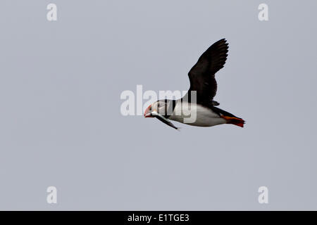Atlantic Puffin (Fratercula arctica) in flight with capelin in its bill Elliston (formerly Bird Islands or Bird Island Cove)