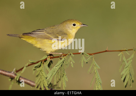 American Yellow Warbler - Setophaga petechia - Adult female - Stock Photo