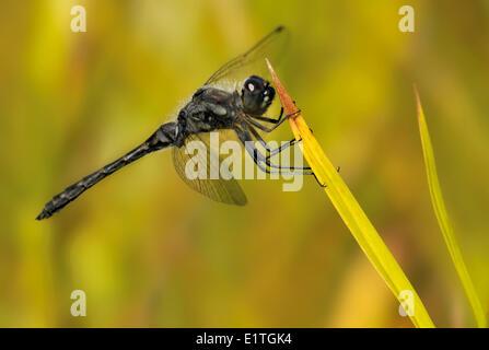 Black Meadowhawk adult male, Sympetrum danae,  at Bowser Bog, Bowser BC - Stock Photo