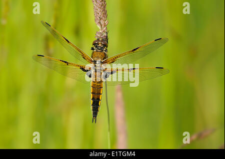 Four-spotted Skimmer, Libellula quadrimaculata at Viaduct Flats, Saanich BC - Stock Photo