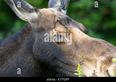 A close-up head shot of a young female Moose (Alces alces) in Cape Breton Highlands National Park, Nova Scotia - Stock Photo