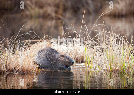 North American Beaver (Castor canadensis) amongst grasses chewing on a stick in Costello Creek Algonquin Provincial - Stock Photo