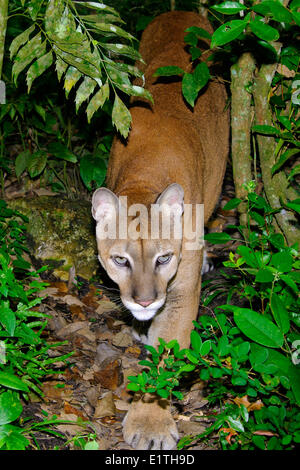 Central American Puma (Felis concolor), tropical rain forests, Belize, Central America - Stock Photo