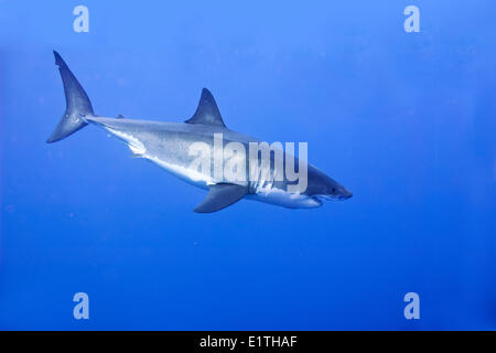 Great white shark (Carcharodon carcharias), Isla Guadalupe, Baja, Mexico - Stock Photo