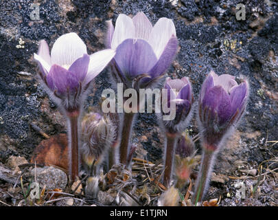 Prairie crocus also known as pasque flower Anemone patens  one the first spring flowers in Rocky Mountains Valley - Stock Photo