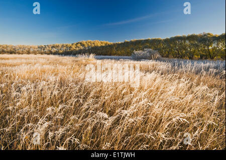 frost covered trees in shelter belt, near Oakbank, Manitoba, Canada - Stock Photo