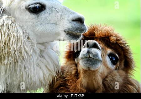 Alpacas, Vicugna Pacos, Kemptville, Ontario, Canada - Stock Photo