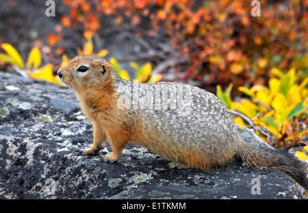 Ground Squirrel, Spermophilus parryii, sik sik, Northwest Passage, Nunavut, Canada - Stock Photo