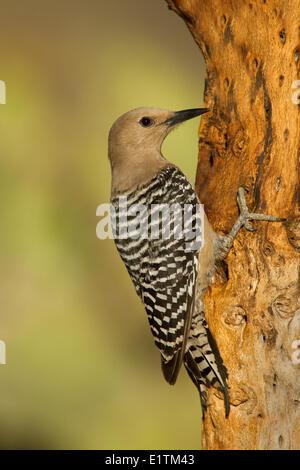 Gila Woodpecker, Melanerpes uropygialis, Sonoran Desert, Arizona, USA - Stock Photo