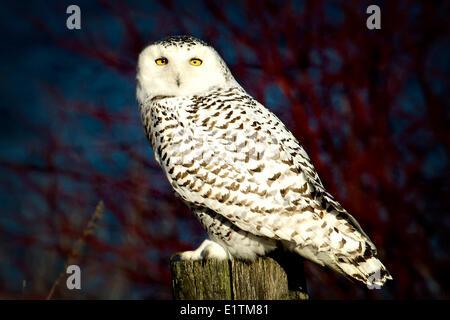 Snowy Owl, Nyctea scandiaca, perched on post, Amherst Island, Ontario, Canada - Stock Photo