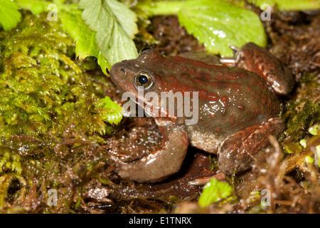 Oregon spotted frog, Rana pretiosa, Vancouver, BC, Canada - Stock Photo