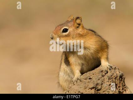 Golden Mantled Ground Squirrel, Callospermophilus lateralis, Oregon, USA - Stock Photo