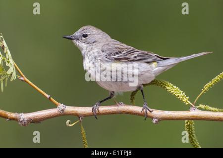 Yellow-rumped Warbler - Setophaga coronata (Audubon's) - Adult female - Stock Photo
