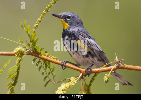 Yellow-rumped Warbler - Setophaga coronata (Audubon's) - Adult male breeding - Stock Photo