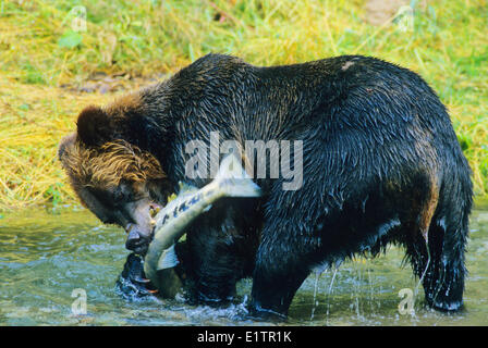 Grizzly Bear (Ursus arctos horribilis) Adult catching Chum Salmon (Oncorhynchus keta) Summer, Alaska, United States - Stock Photo