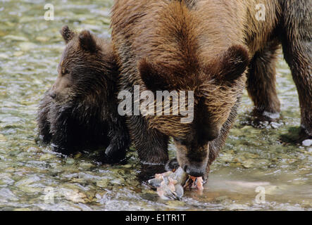 Grizzly Bear (Ursus arctos horribilis) Adult Female & Young who will remain with her for up to three years. Summer - Stock Photo