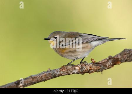 Yellow-rumped Warbler - Setophaga coronata (Audubon's) - Immature - Stock Photo