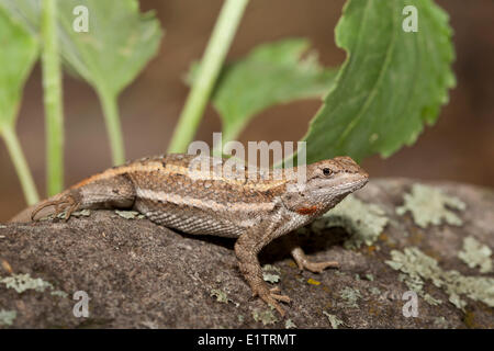 Striped Plateau Lizard, Sceloporus virgatus, Arizona, USA - Stock Photo