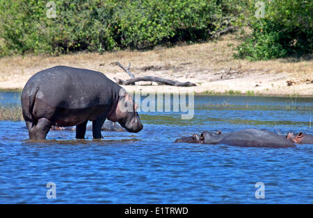 Hippopotamuses, Chobe National Park, Botswana, Africa - Stock Photo