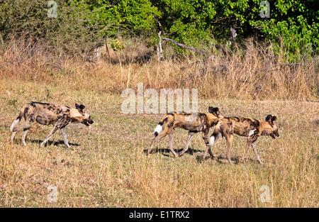 African Wild Dogs, Okavango Delta, Moremi Game Reserve, Botswana, Africa - Stock Photo