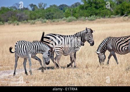 Zebras, equus quagga, Moremi National Park, Botswana, Africa - Stock Photo