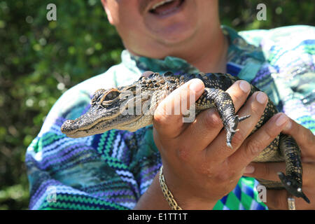 American Alligator, Crocodylus acutus, Everglades National Park, UNESCO World Heritage Site, Florida, USA - Stock Photo