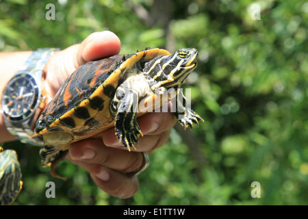 Painted Turtle, Chrysemys picta, Everglades National Park, UNESCO World Heritage Site, Florida, USA - Stock Photo