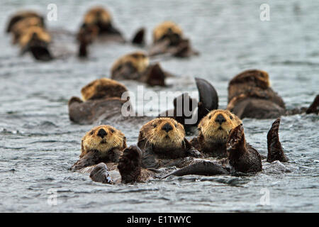 Sea otter Enhydra lutris belongs to the weasel family photographed the west coast northern Vancouver Island British - Stock Photo
