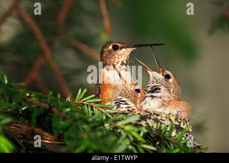 Rufous hummingbird nest with two 14 day old baby chicks, Selasphorus rufus, Northern Vancouver Island, Britih Columbia, - Stock Photo