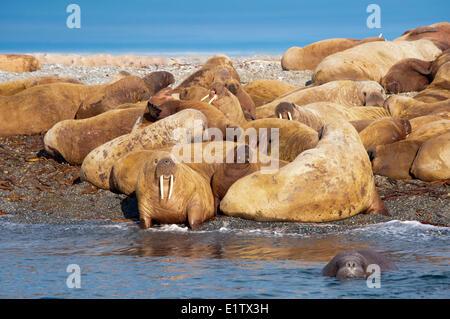 Adult female Atlantic walruses (Odobenus rosmarus) juveniles calves hauled out on a beach Storoya Northeast Svalbard - Stock Photo