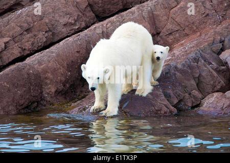 Mother polar bear (Ursus maritimus) and yearling cub, Svalbard Archipelago, Norwegian Arctic - Stock Photo