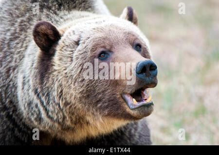 Adult mountain grizzly bear (Ursus arctos), Jasper National Park, Canadian Rocky Mountains, western Alberta, Canada