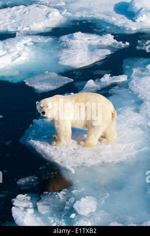 Polar bear (Ursus maritimus) on pack ice, Svalbard Archipelago, Norwegian Arctic - Stock Photo