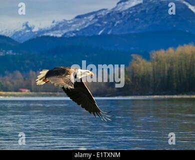 bald eagle Haliaeetus leucocephalus Brackendale Squamish Squamish River Cheakamus River Mamquam rivers British Columbia Canada