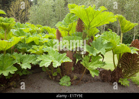 Gunnera which looks like giant rhubarb grows in the gardens at Clayoquot Island Preserve also known as Stubbs Island - Stock Photo
