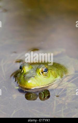 Male Bullfrog (Rana catesbeiana), Killarney Provincial Park, Ontario
