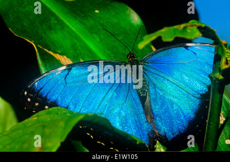 Blue Morpho Butterfly (Morpho peleides limpida) dorsal view Mexico Central America northern South America Paraguay - Stock Photo