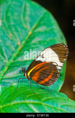 Sapho Longwing Butterfly, (Heliconius sapho leuce), Ventral view, SE Mexico to Costa Rica; Atlantic slope - Stock Photo